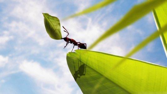 Topuk Isıran Karınca
